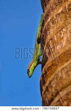 Ornate day gecko from Mauritius in its natural habitat