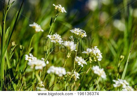 white spring flowers on green background with shallow depth of field
