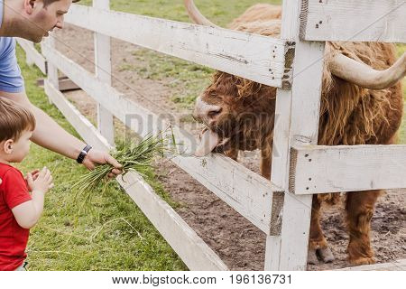 Toddler Boy And His Father Feeding A Highland Cow