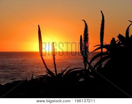 A SILHOUETTE OF ALOES IN THE FORE GROUND, WITH THE SUN SETTING IN THE BACK GROUND
