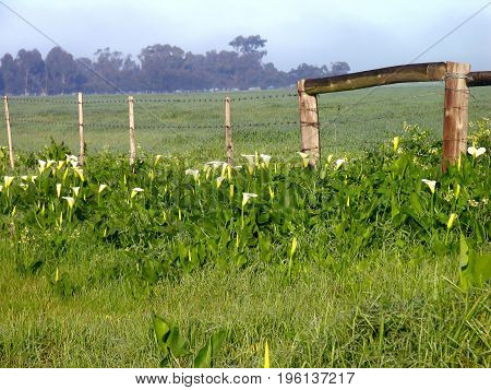 A ROW  OF WHITE LILIES GROWING IN BETWEEN SOME LONG GRASS,  BELOW A RUSTIC FENCE, WITH A MISTY BACK GROUND