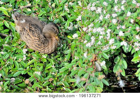 Young Cute  Duck Resting In Green Leafs Near The River