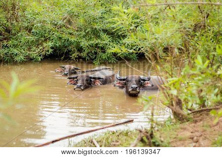 Buffalos Bath On Don Det