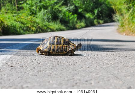 Hermann's tortoise (Testudo hermanni) on the middle of the road. Turtle crossing asphalt road
