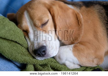 The dog breed Beagle is sleeping sweetly on a green towel