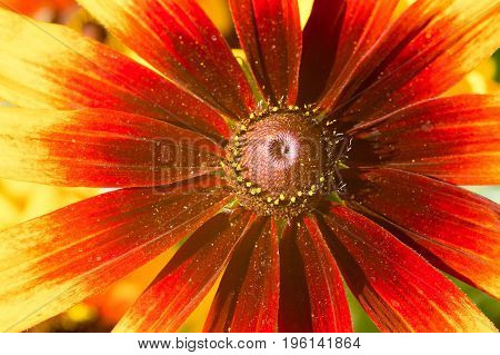 The Macro photo of yellow-red echinacea flower