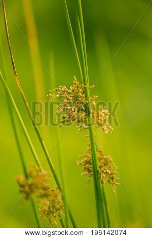 A beautiful sedge grass growing in a wet meadow near river. Vibrant summer scenery.