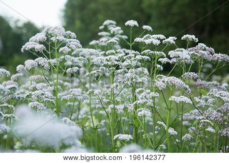A beautiful valerian flowers blossoming in a summer meadow. A vibrant scenery. poster