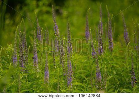 A beautiful longleaf speedwell flowering in a summer meadow. Veronica Longofolia.