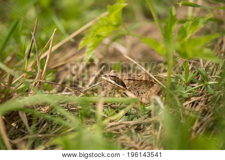 A beautiful brown frog sitting in a meadow grass near the river.