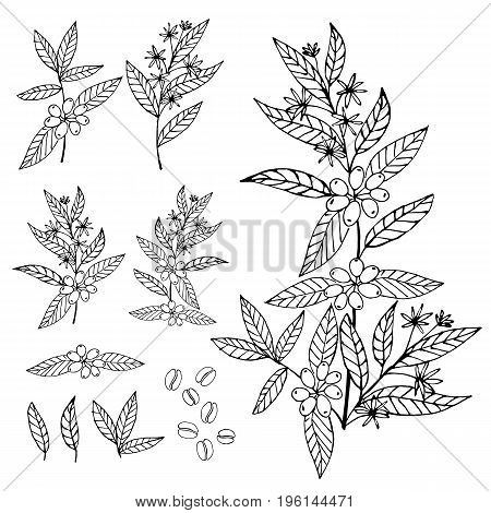 Set of branch coffee in graphic style hand-drawn vector illustration. Plant with leaf, flowers, berry, fruit, seed. Ripe coffee. Natural caffeine drink. Vector illustration for shop and poster design
