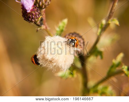 A 7 Dot Ladybird On Top Of A Small White Thistle Flower