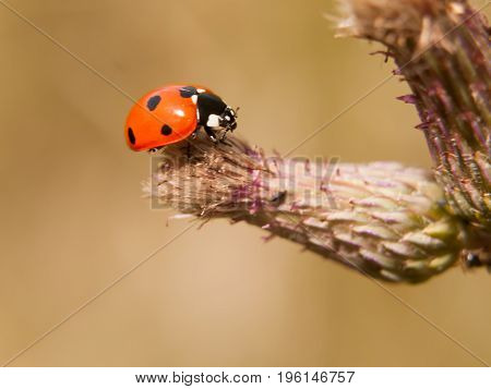 A 7 Dot Ladybird Resting On The End Of A Bud Up Close