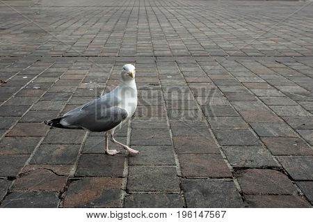 Seagull standing on a pillar in The Hague, Netherlands