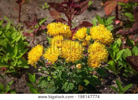 Beautiful yellow chrysanthemums in blossom in the garden.