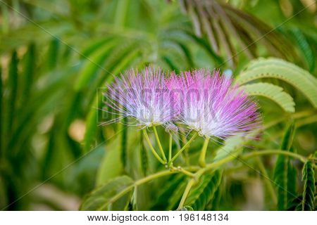 Beautiful pink powderpuff tree flowers, Calliandra surinamensis, mimosaide family. Blossoms and green leaves on a branch. Exotic tropical plant. Summertime, outdoors.