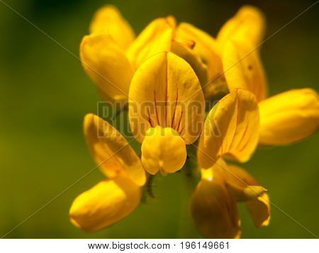 Lovely Growing And Budding Yellow Wild Flower Up Close