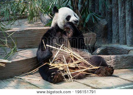 A Giant panda enjoy eating bamboo sticks