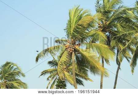 high coconut palm trees and blue sky