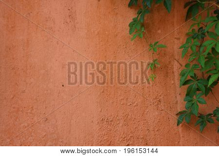 Green creeper on pale orange wall with space on the left