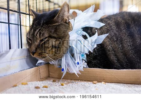 Unhappy Tabby Overweight Cat In Cage By Litterbox With Festive Holiday Collar On
