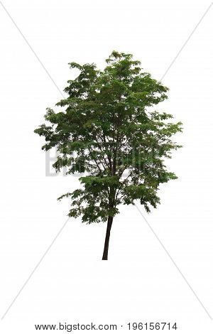 Tree with dense foliage isolated on white background.