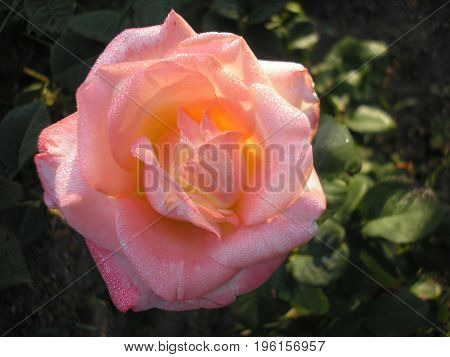 Rose is the queen of flowers. Photo of a beautiful rose in the garden.