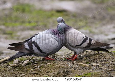 A pair of pigeons billing as part of a courtship ritual