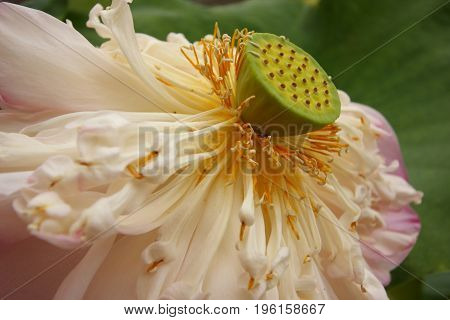 Withered pink lotus flower with young seed inside.