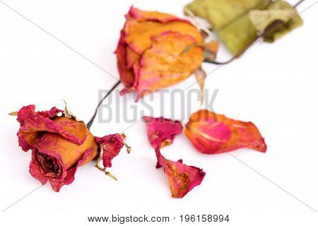 Withered roses and petals on white background.