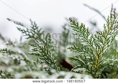 Frost water drops on juniper tree in garden