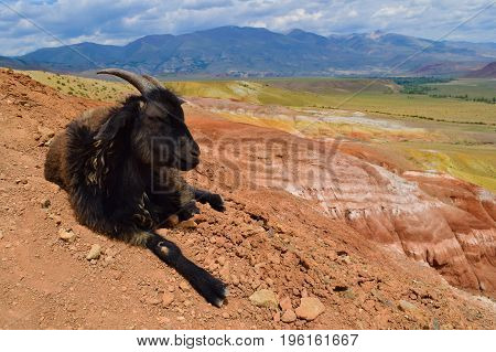 Old black goat with closed eyes lies on the top of red hill in Altai mountains.
