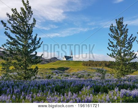 Flowering lupine field with two trees framing a church building