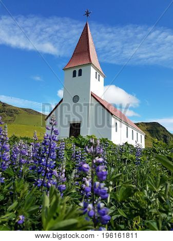 Flowering lupine field with a church building and mountains in the background