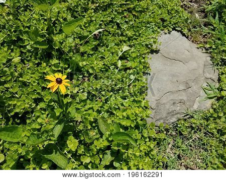 yellow flower with green plants and grey stepping stone