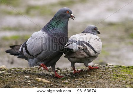 A male feral pigeon pursuing his female male with neck feathers puffed out
