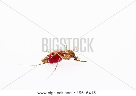 The Anopheles mosquitoes isolated on white background.