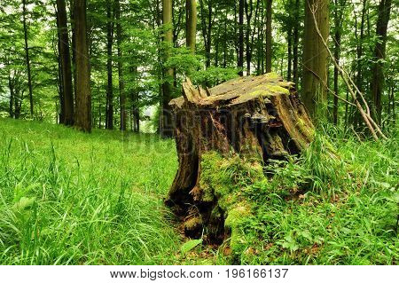 An old stump with a moss in the grass