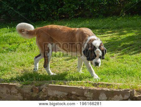 dog Saint Bernard walks in the courtyard in summer