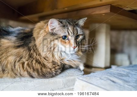 Scared Shy Calico Tabby Maine Coon Cat Under Table