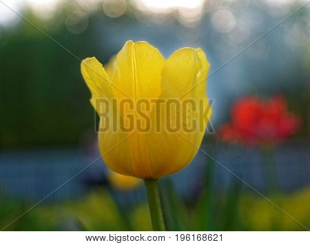 yellow Tulip in the spring at the dacha, Russia