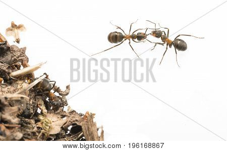 Red wood ant (Formica rufa) close up - macro photography
