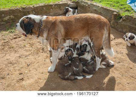 St. Bernard dog feeds its puppies in the summer