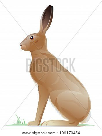 One big brown adult hare sitting on the ground on side view, realistic wild animal illustration on white background
