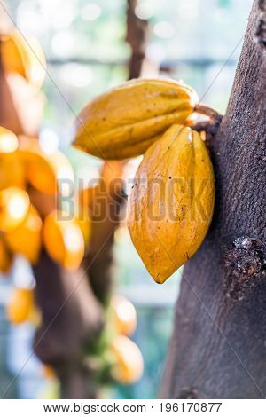 Yellow cacao pods on tree in garden