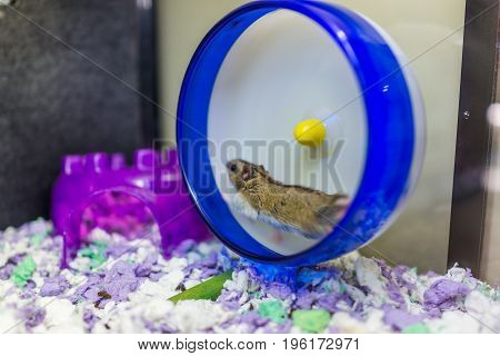 Hamster running on blue wheel with motion