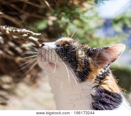 Closeup of calico cat face sniffing branch
