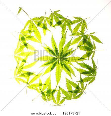 Cannabis Leaf Green Leaves Marijuana
