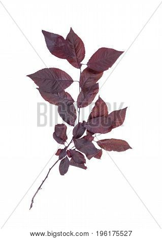 Bright red leaves plums, isolated on a white background. Fresh branch of red leaves. Autumn branch with red leaves of plum. Environment, nature, ecology concept.