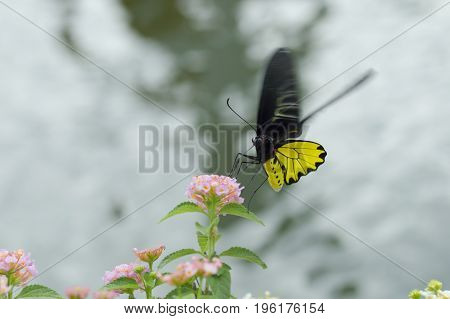 Yellow butterfly with Hedge flowers. Golden birdwing Butterfly.